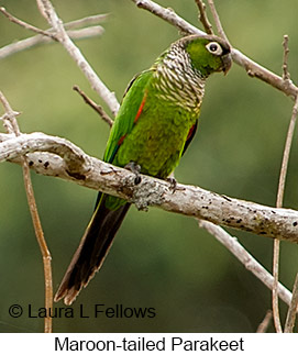 Maroon-tailed Parakeet - © Laura L Fellows and Exotic Birding LLC