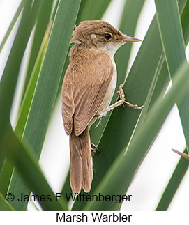 Marsh Warbler - © James F Wittenberger and Exotic Birding LLC