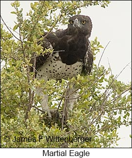 Martial Eagle - © James F Wittenberger and Exotic Birding LLC