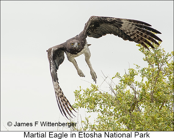 Martial Eagle - © The Photographer and Exotic Birding LLC
