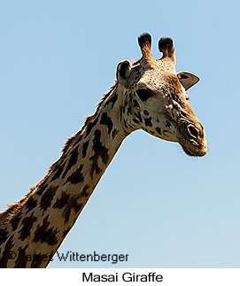 Masai Giraffe - © James F Wittenberger and Exotic Birding Tours