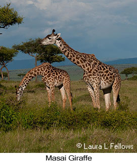 Masai Giraffe - © Laura L Fellows and Exotic Birding Tours