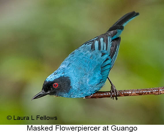Masked Flowerpiercer - © Laura L Fellows and Exotic Birding Tours