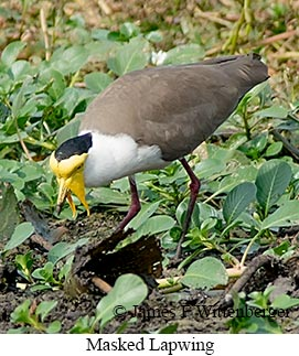 Masked Lapwing - © James F Wittenberger and Exotic Birding Tours