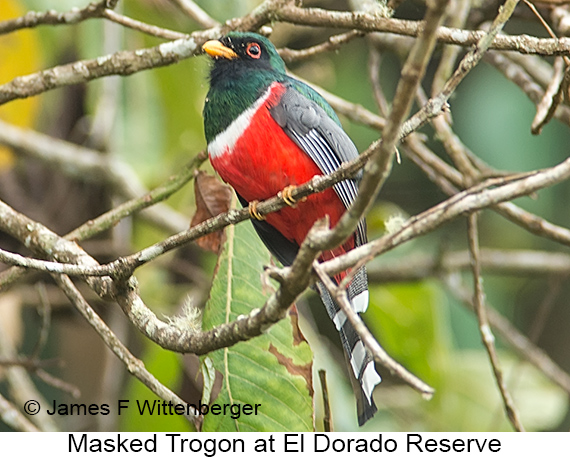 Masked Trogon - © James F Wittenberger and Exotic Birding LLC