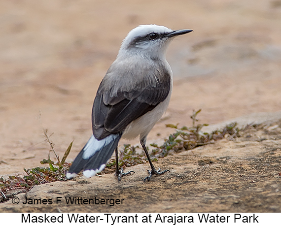 Masked Water-Tyrant - © James F Wittenberger and Exotic Birding LLC
