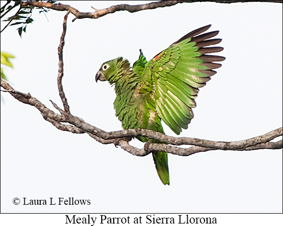 Mealy Amazon - © The Photographer and Exotic Birding LLC