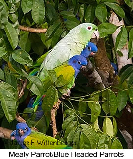 Mealy Parrot - © James F Wittenberger and Exotic Birding Tours