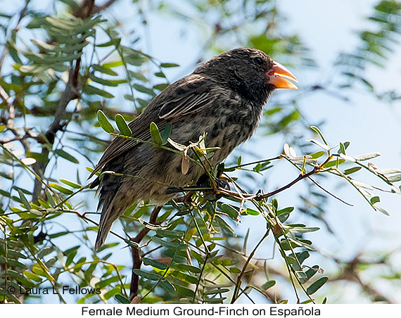 Medium Ground-Finch - © Laura L Fellows and Exotic Birding Tours