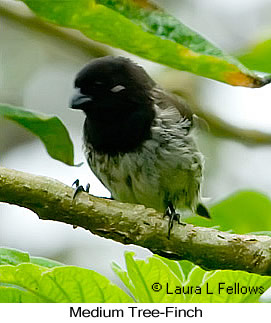 Medium Tree-Finch - © Laura L Fellows and Exotic Birding LLC