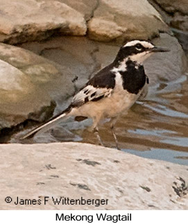 Mekong Wagtail - © James F Wittenberger and Exotic Birding LLC