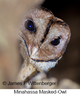 Minahassa Masked-Owl - © James F Wittenberger and Exotic Birding LLC