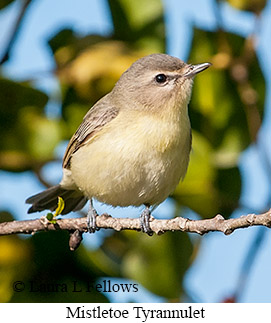 Paltry Tyrannulet - © Laura L Fellows and Exotic Birding Tours