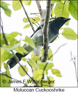 Moluccan Cuckooshrike - © James F Wittenberger and Exotic Birding Tours