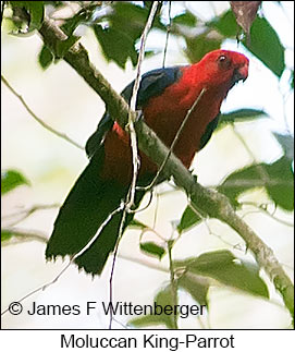 Moluccan King-Parrot - © James F Wittenberger and Exotic Birding LLC