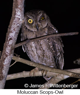 Moluccan Scops-Owl - © James F Wittenberger and Exotic Birding Tours