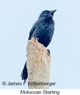 Moluccan Starling - © James F Wittenberger and Exotic Birding Tours