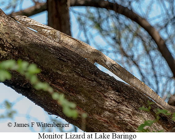 Monitor Lizard - © The Photographer and Exotic Birding LLC