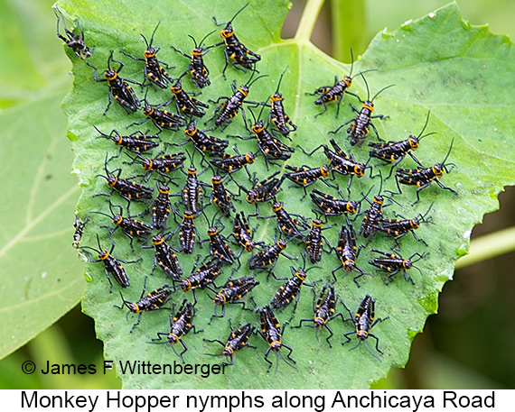Monkeyhopper Nymphs - © The Photographer and Exotic Birding LLC