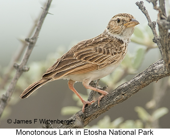 Monotonous Lark - © James F Wittenberger and Exotic Birding LLC