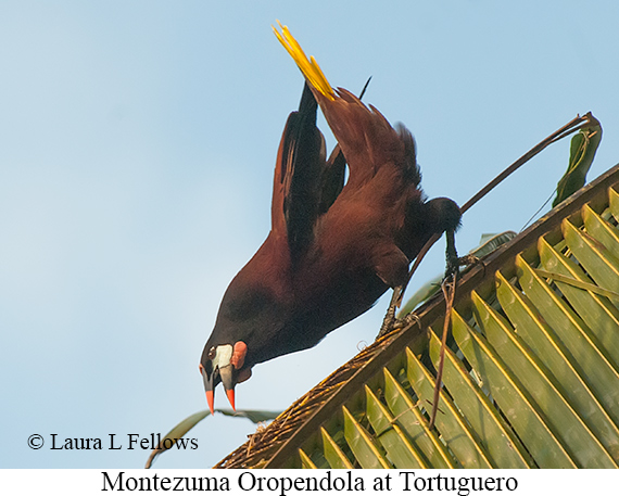 Montezuma Oropendola - © Laura L Fellows and Exotic Birding LLC