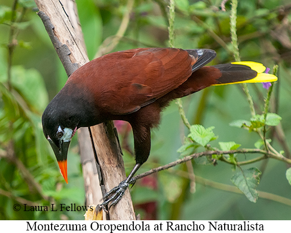 Montezuma Oropendola - © The Photographer and Exotic Birding LLC