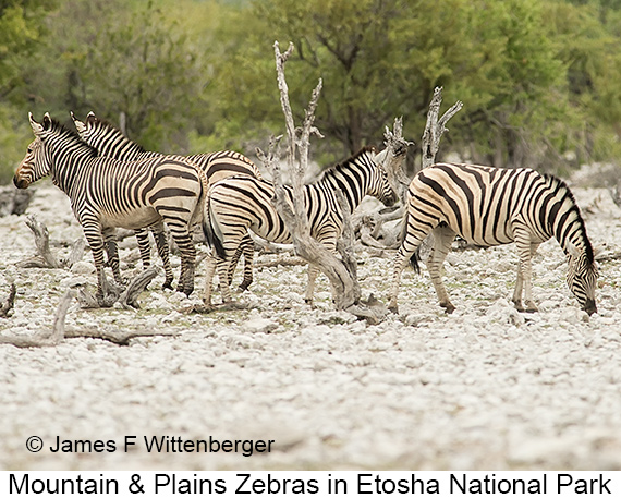 Mountain-and-plains Zebras - © The Photographer and Exotic Birding LLC