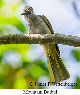 Mountain Bulbul - © James F Wittenberger and Exotic Birding Tours
