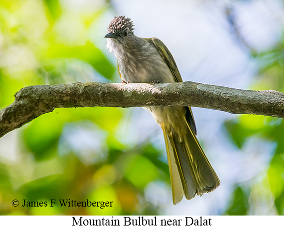 Mountain Bulbul - © James F Wittenberger and Exotic Birding LLC