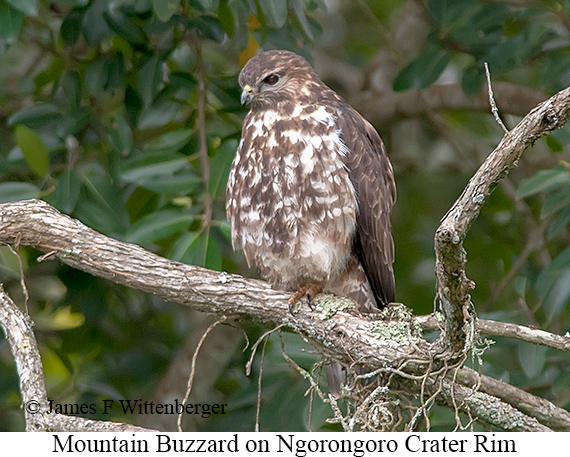 Mountain Buzzard - © James F Wittenberger and Exotic Birding Tours