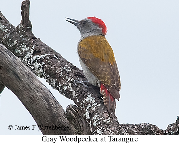 Mountain Gray Woodpecker - © James F Wittenberger and Exotic Birding LLC