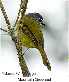 Eastern Mountain-Greenbul - © James F Wittenberger and Exotic Birding Tours