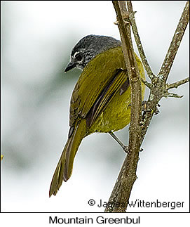 Eastern Mountain-Greenbul - © James F Wittenberger and Exotic Birding LLC
