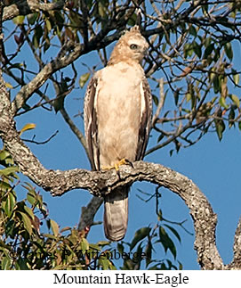 Mountain Hawk-Eagle - © James F Wittenberger and Exotic Birding Tours