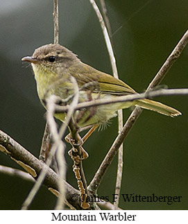 Mountain Leaf Warbler - © James F Wittenberger and Exotic Birding Tours
