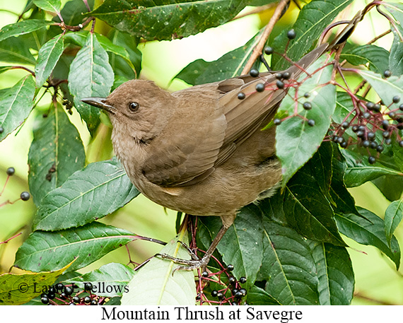 Mountain Thrush - © Laura L Fellows and Exotic Birding LLC