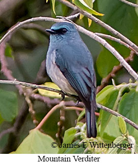 Mountain Verditer - © James F Wittenberger and Exotic Birding Tours