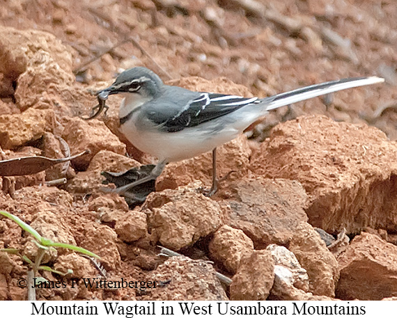 Mountain Wagtail - © The Photographer and Exotic Birding LLC