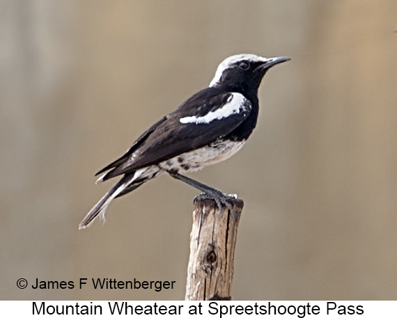 Mountain Wheatear - © James F Wittenberger and Exotic Birding LLC