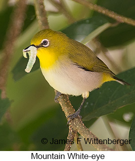 Mountain White-eye - © James F Wittenberger and Exotic Birding Tours
