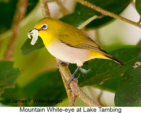 Mountain White-eye - © The Photographer and Exotic Birding LLC