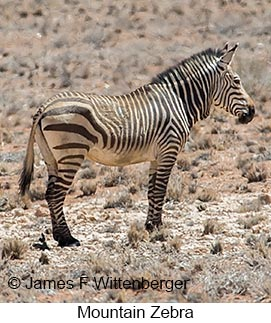 Mountain Zebra - © James F Wittenberger and Exotic Birding LLC