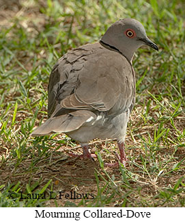 Mourning Collared-Dove - © Laura L Fellows and Exotic Birding LLC