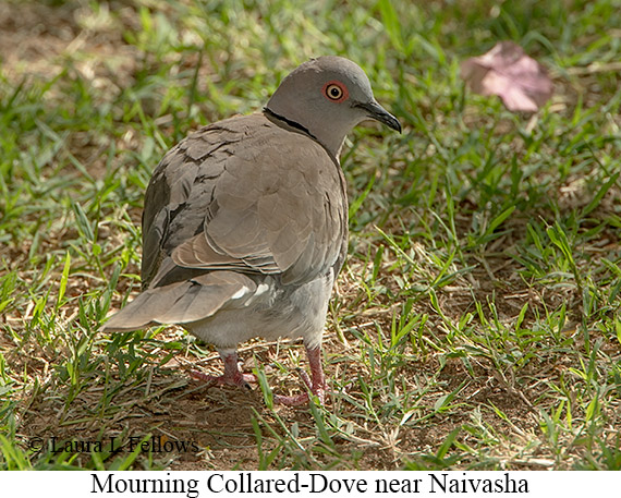 Mourning Collared-Dove - © Laura L Fellows and Exotic Birding Tours