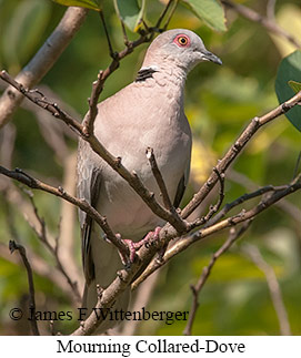 Mourning Collared-Dove - © James F Wittenberger and Exotic Birding LLC