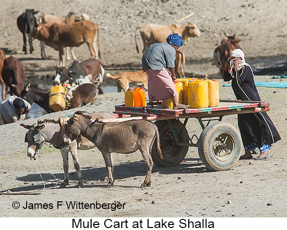 Mule Cart - © The Photographer and Exotic Birding LLC