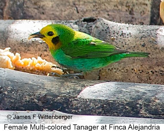 Multicolored Tanager - © James F Wittenberger and Exotic Birding LLC