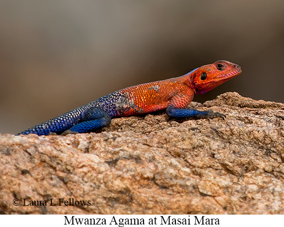 Mwanza Agama - © The Photographer and Exotic Birding LLC