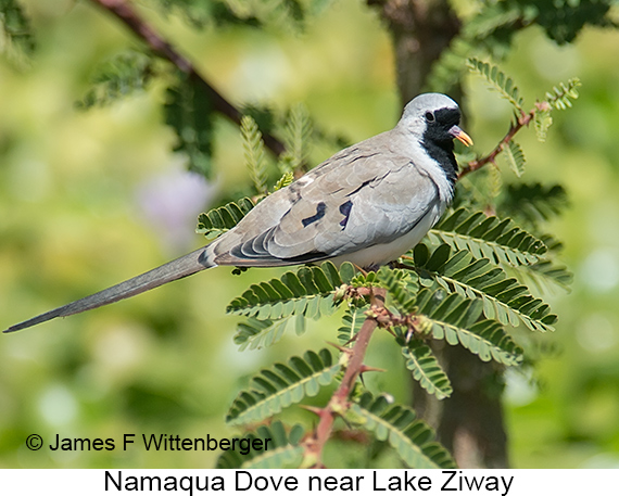 Namaqua Dove - © The Photographer and Exotic Birding LLC