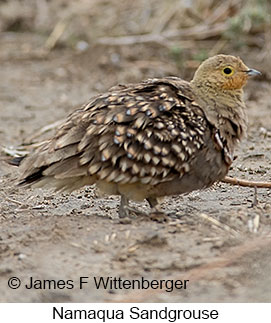 Namaqua Sandgrouse - © James F Wittenberger and Exotic Birding Tours